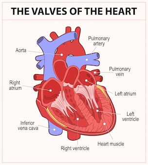 Diagram of human heart anatomy