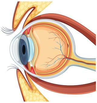 Схема анатомии глазного яблока человека