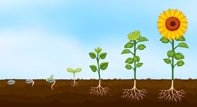 식물 성장 단계의 다이어그램