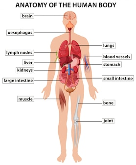 Diagram showing anatomy of human body