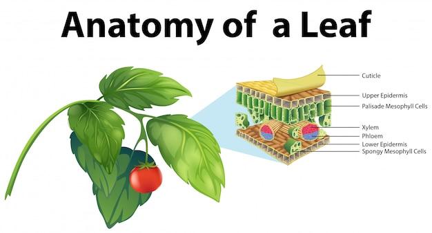 Diagram showing anatomy of a leaf
