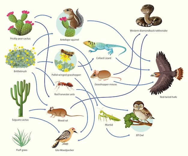 Diagram showing animal food chain on white background