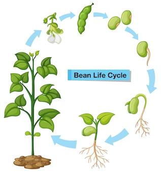 Диаграмма, показывающая жизненный цикл