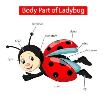 무당 벌레의 신체 부분을 보여주는 다이어그램