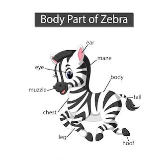 Diagram showing body part of zebra