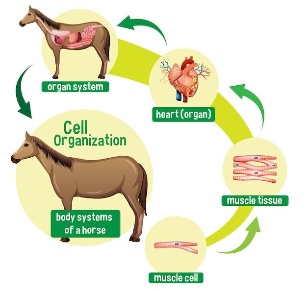 Diagramma che mostra l'organizzazione cellulare in un cavallo