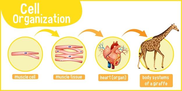 キリンの細胞組織を示す図