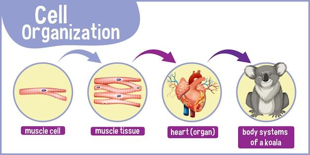 코알라의 세포 조직을 보여주는 다이어그램