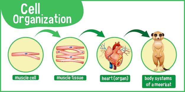 ミーアキャットの細胞組織を示す図