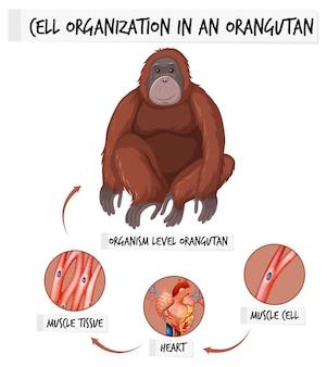 オランウータンの細胞組織を示す図