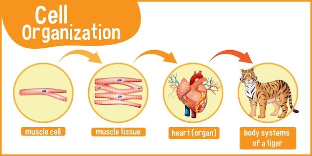 トラの細胞組織を示す図