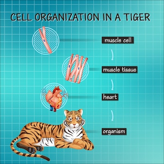 Diagram showing cell organization in a tiger