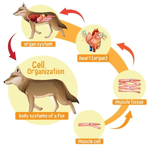 Diagramma che mostra l'organizzazione cellulare in un lupo
