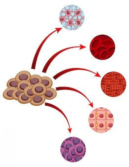 Diagram showing closer look of different cells