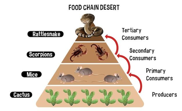 Диаграмма, показывающая пищевую цепочку пустыни для образования Бесплатные векторы