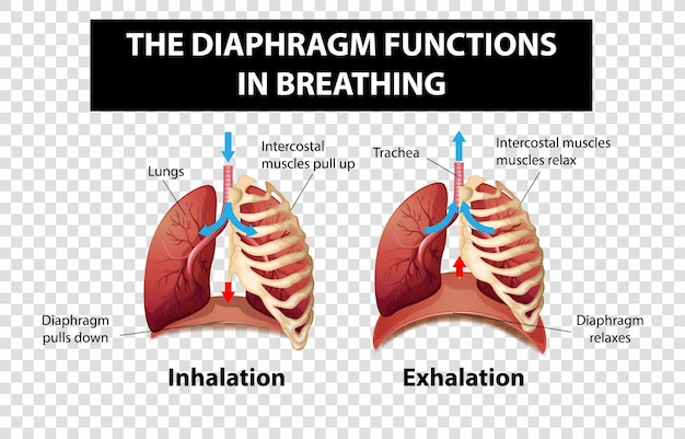 Diagram showing diaphragm functions in breathing on transparent background