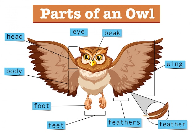 Diagram showing different part of owl