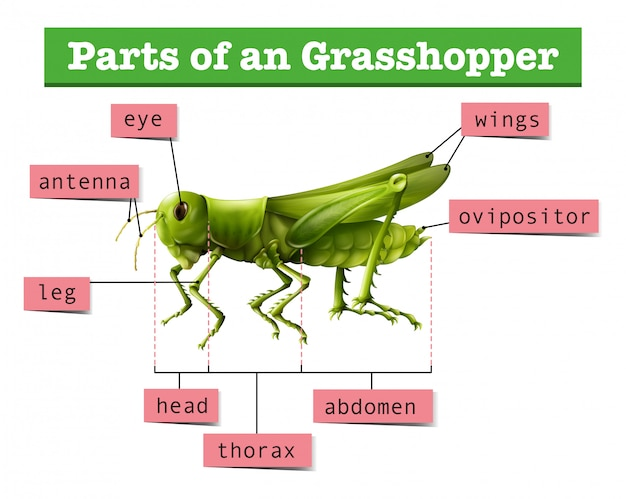 Diagram showing different parts of grasshopper