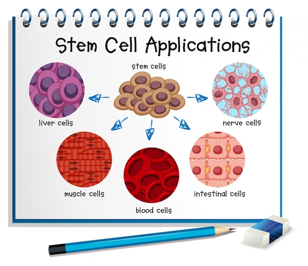 Diagram showing different stem cell applications