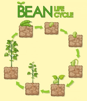 Diagram showing how plants grow from seed to beans