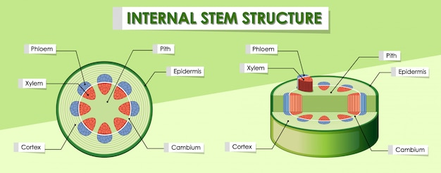 Diagram showing internal stem structure