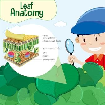 Diagramma che mostra l'anatomia della foglia con un personaggio dei cartoni animati di un ragazzo