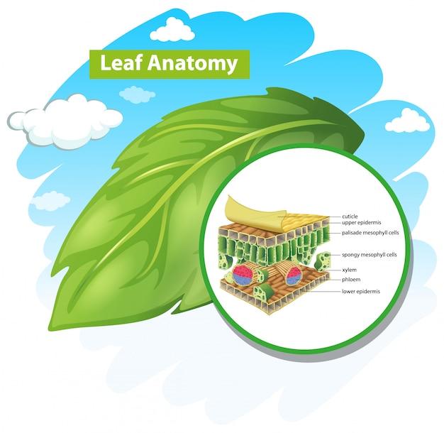 Diagram showing leaf anatomy