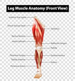 Diagramma che mostra l'anatomia del muscolo della gamba su trasparente