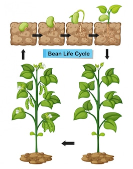 Diagram showing life cycle of bean