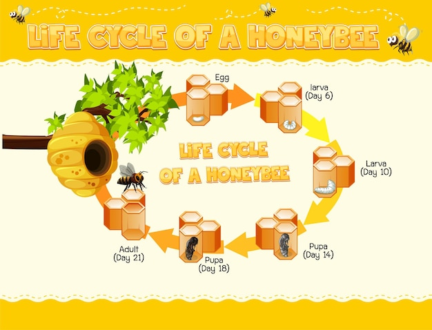 Diagram showing life cycle of honey bee