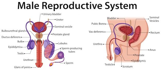 男性の生殖器系を示す図