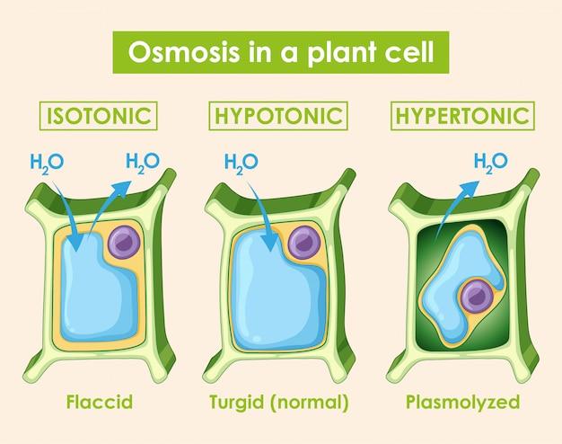 식물 세포에서 삼투를 보여주는 다이어그램