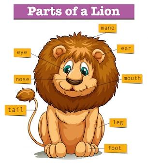 Diagram showing parts of lion