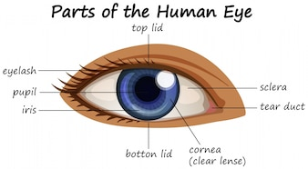 Diagram showing parts of human eye