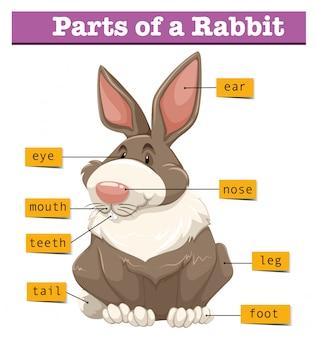 Diagram showing parts of rabbit