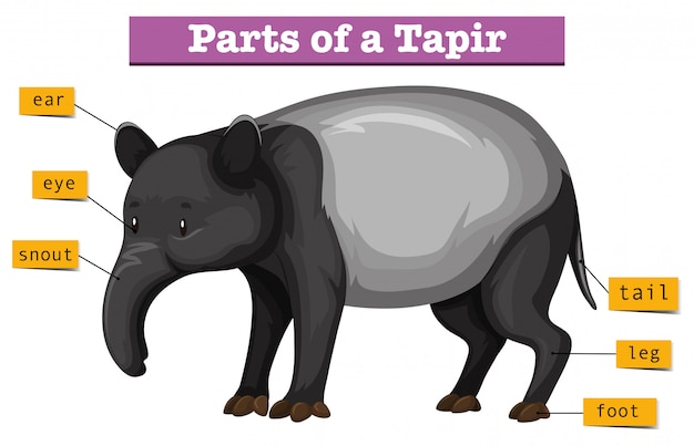 Diagram showing parts of tapir