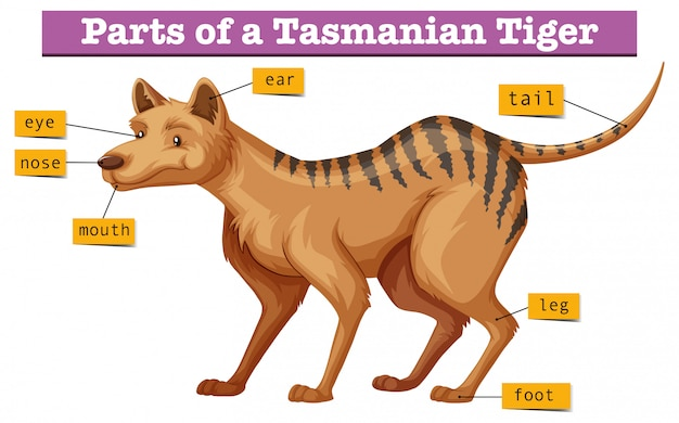 Diagram showing parts of tasmanian tiger