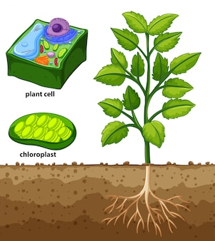 Diagram showing plant cell and tree in the ground
