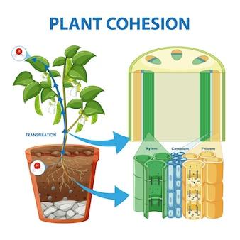 Diagramma che mostra la coesione delle piante
