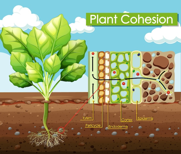 식물 응집력을 보여주는 다이어그램