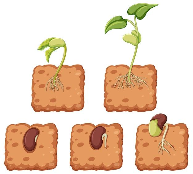 種子から成長する植物を示す図