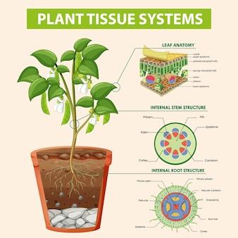 식물 조직 시스템을 보여주는 다이어그램