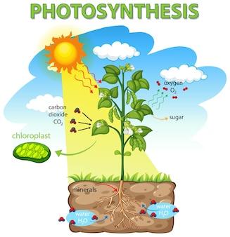植物の光合成過程を示す図