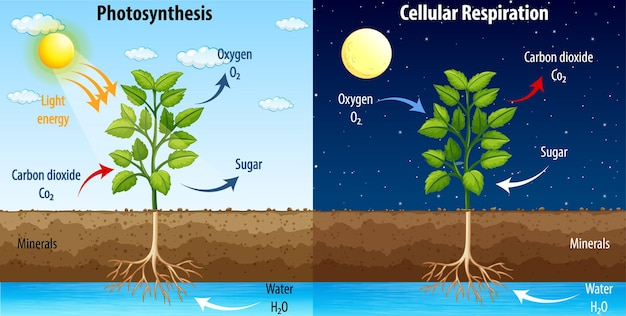 Diagram showing process of photosynthesis and cellular respiration