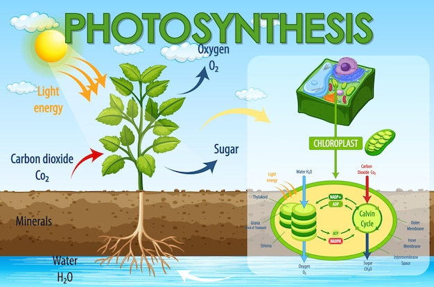 Diagram showing process of photosynthesis in plant Free Vector