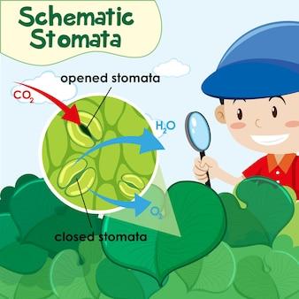 Diagram showing schematic stomata with boy in garden