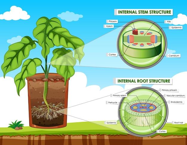 Схема, показывающая структуру стебля и корня