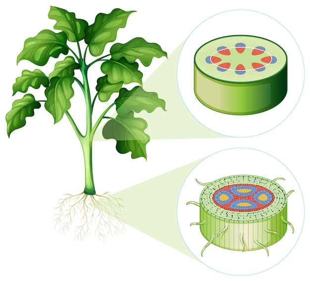 Diagram showing stem and root cell