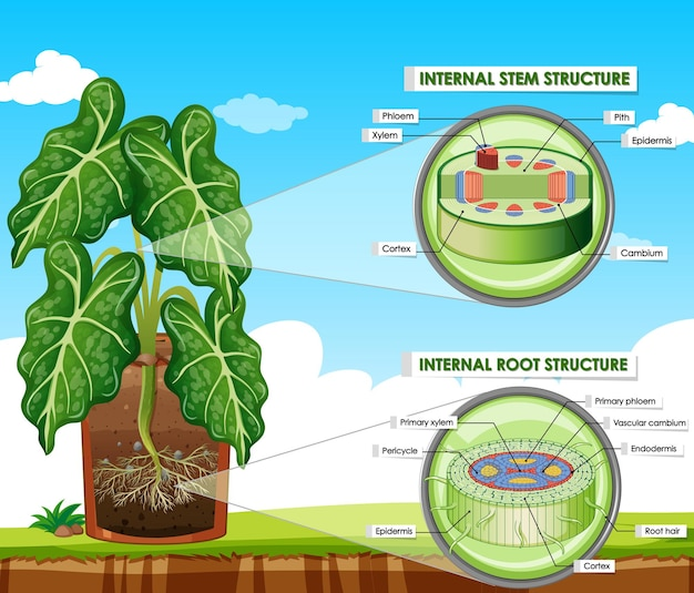 Diagram showing stem and root structure