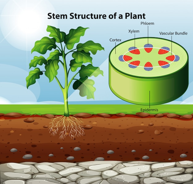 Diagram showing stem structure of a plant